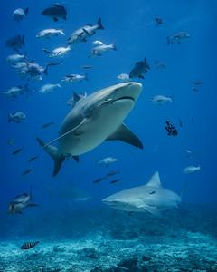 Gentle shark