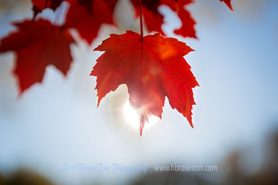 Good Morning Crimpson Red Maple