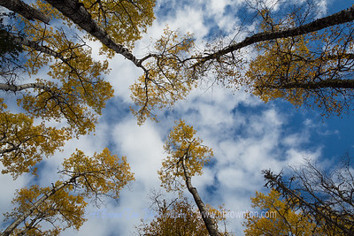 Birches reaching to the sky...
