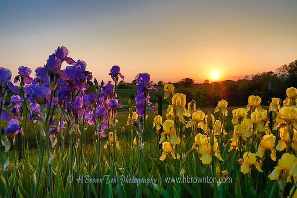 Sunset Through the Irises