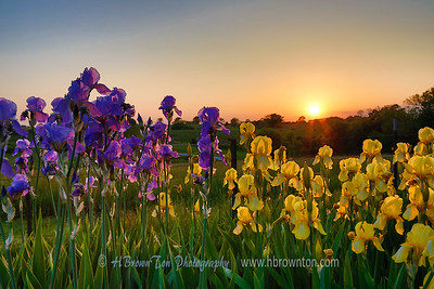 Sunset Through the Irises