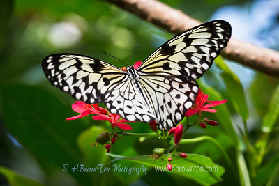 Florida Keys Butterfly