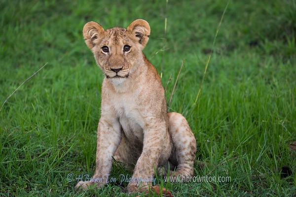 Lion Cub -- Serengeti