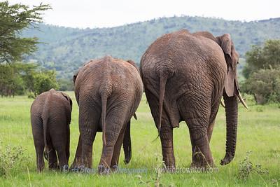 Three Elephants of the Serengeti