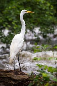 Great Egret of Minnehaha Creek