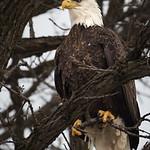 Minnehaha Eagle