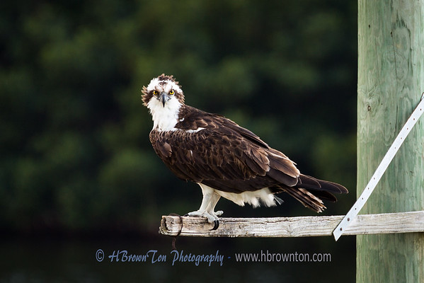 Good morning Osprey