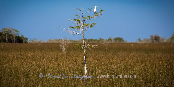 Lonely Great Egret -- Everglades National Park