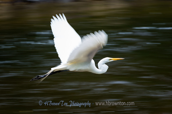 Great Egret On My Way...