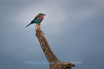 A Lilac-breasted Roller  -- Serengeti National Park
