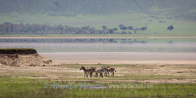 A Patch of Zebras in front of Lake Magadi