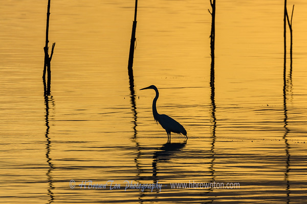 Great Heron in early dawn.
