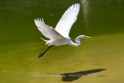 Great Egret Take-off