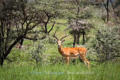 Impala Antelope -- Serengeti National Park
