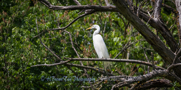 Heron Perched in Treetop -- Minnehaha Creek