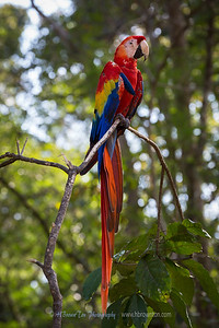 Portrait of a Scarlet Macaw -- Honduran National Bird