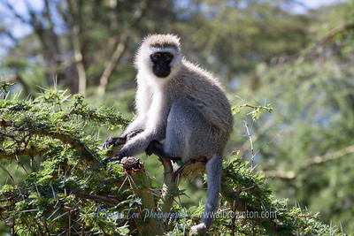Black-faced Velvet Monkey