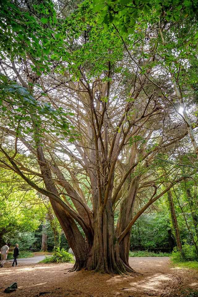 Large Oak in Killarney