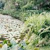 Pond with ferns