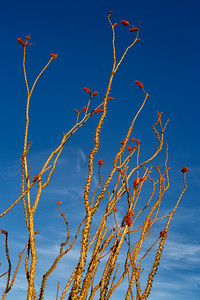 Ocotillo Blooms