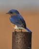 Bluebird on a Pole