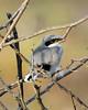 Baby Loggerhead Shrike