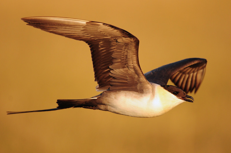 A long-tailed jaeger in flight over the Colville River Delta, Alaska.