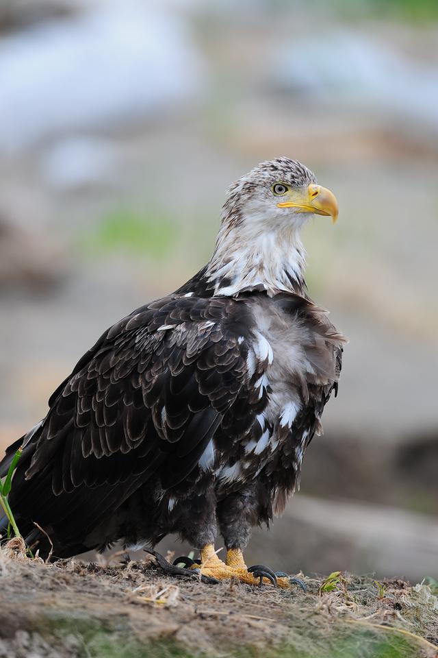 A bald eagle along the banks of a small river in Katmai National Park, Alaska.