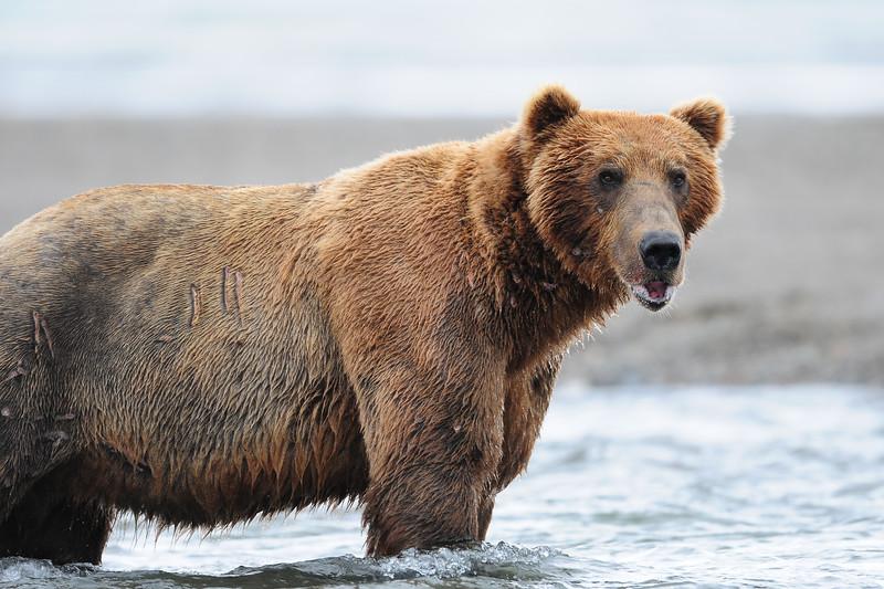 Alaskan brown bear fishing at the out flow of a creek, Katmai National Park, Alaska.