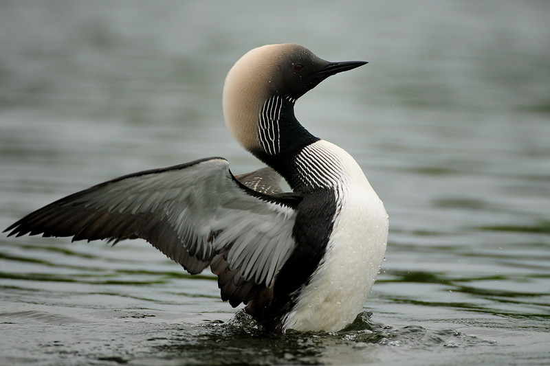 A pacific loon stretching it's wings, Alaska.