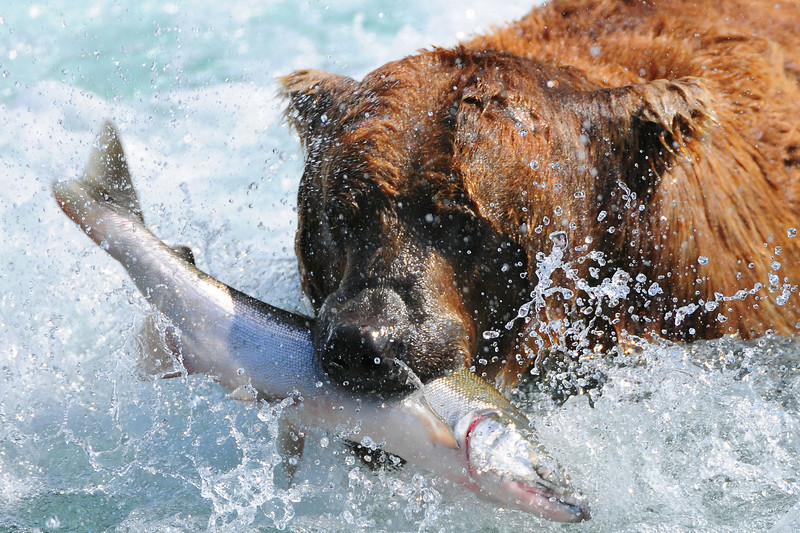 An Alaskan brown bear (Ursus arctos) with a recently caught sockeye salmon (Oncorhynchus nerka) in Alaska, U.S. in the month of July.