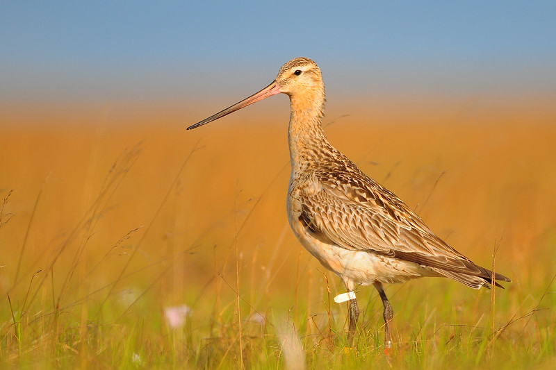 A bar-tailed godwit on the Yukon-Kuskokwim River Delta NWR, Alaska.