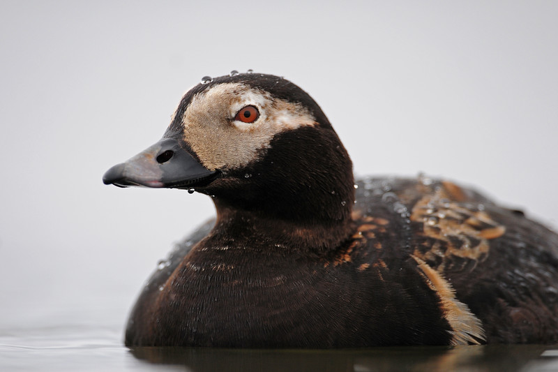 A drake long-tailed duck on a pond along the Colville River Delta, Alaska.