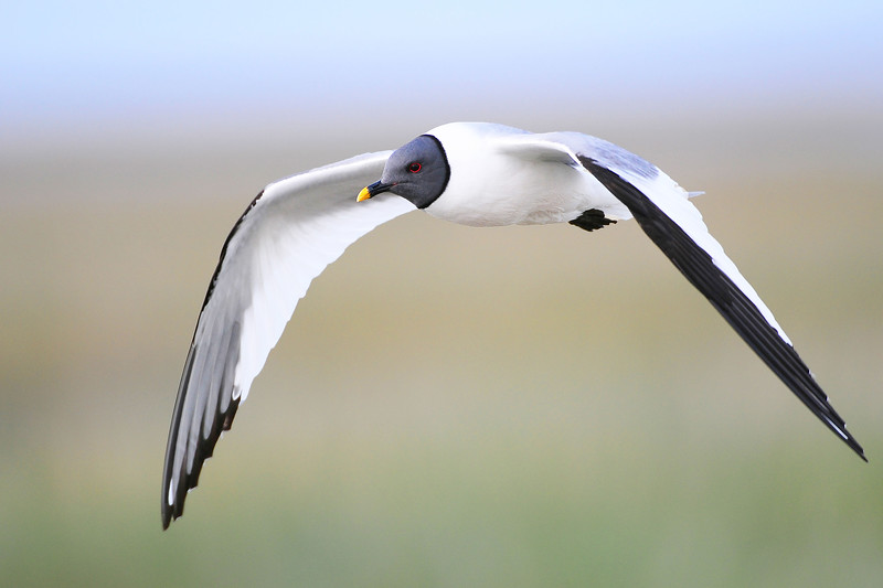 A Sabine's gull wings over the marshes of Eastern Alaska.