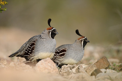 Gambel's quail in the desert near Phoenix, Arizona.