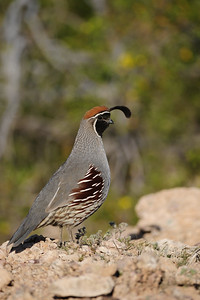 Gambel's quail in the desert near Phoenix, Arizona.