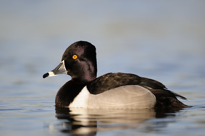 A drake ring-necked duck on a small pond in Arizona.