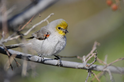 Verdin at the Gilbert Water Ranch, Arizona.