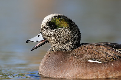American wigeon calling from a pond in Arizona.