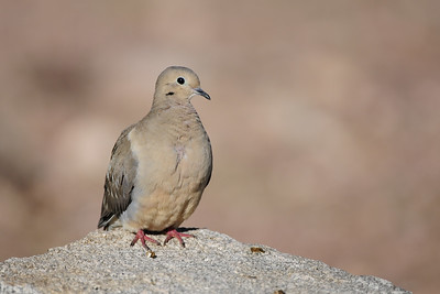 Mourning dove on a rock in the Arizona desert.