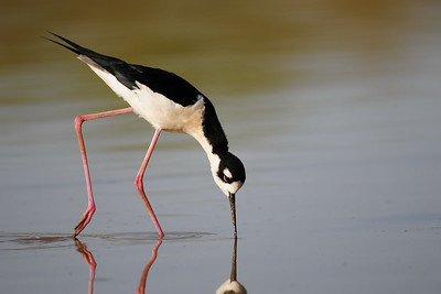 A black-necked stilt foraging, Arizona.