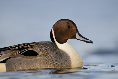 A drake pintail on near Victoria, British Columbia.