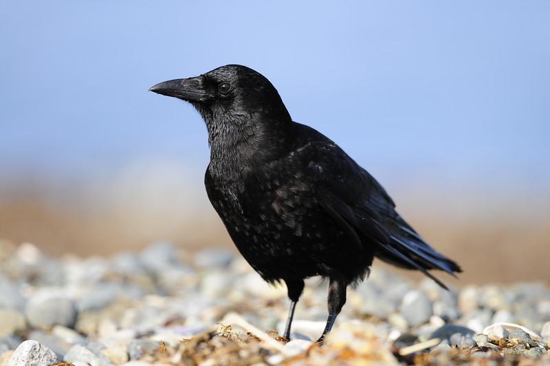 Northwestern crow on a beach near Parksville, BC.