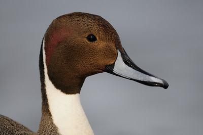 Close-up of a drake pintail on Vancouver Island, British Columbia.