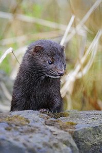 A mink along a river on Vancouver Island, British Columbia.