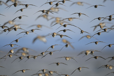 A flock of dunlin coming in to land on a beach near Parksville, British Columbia.