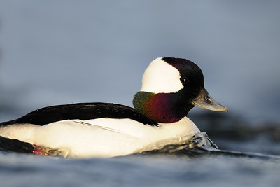 Drake bufflehead on a saltwater lagoon, British Columbia.