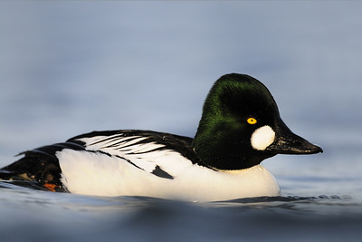 A common goldeneye on a lagoon on Vancouver Island, British Columbia.
