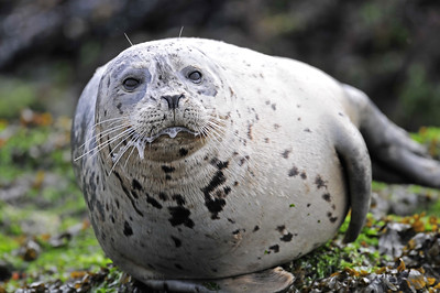 A harbour seal, Vancouver Island, British Columbia.