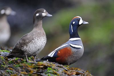 A pair of harlequin ducks on the tidal rocks of Vancouver Island, British Columbia.